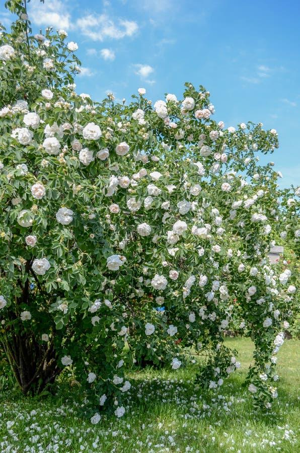 Τεράστιος θάμνος των τριαντάφυλλων στοκ φωτογραφία με δικαίωμα ελεύθερης χρήσης