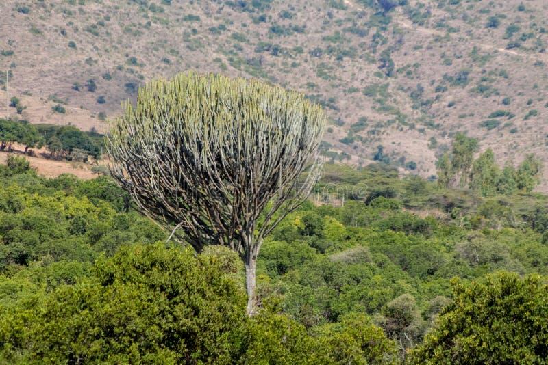 Τεράστιος πράσινος μεγάλος θάμνος κάκτων υψηλός όπως ένα δέντρο στοκ φωτογραφίες