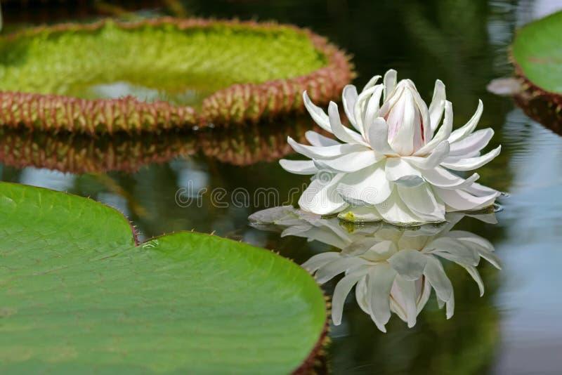 Τεράστιο άσπρο λουλούδι του γιγαντιαίου blosso Waterlily (amazonica Βικτώριας) στοκ εικόνα