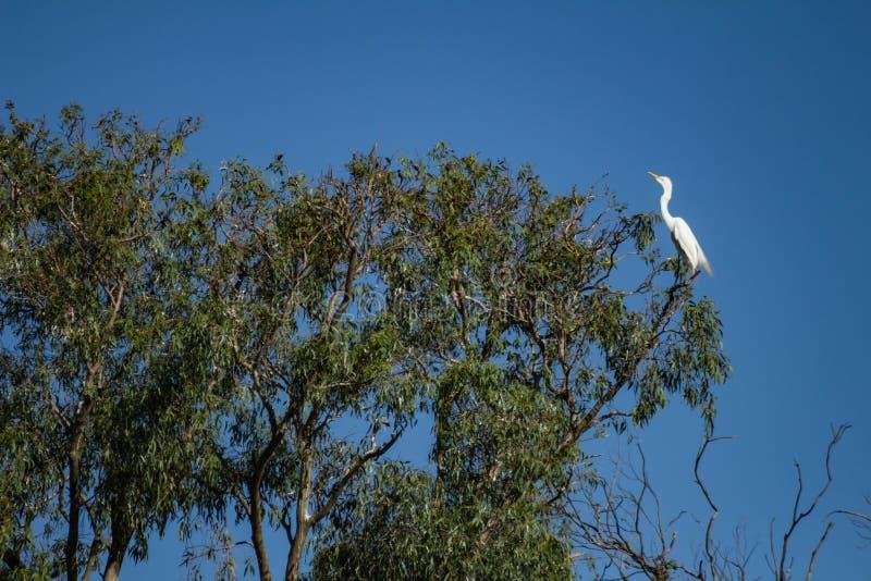 Τεράστιο άσπρο πουλί σε ένα δέντρο Ένα άγριο πουλί στοκ φωτογραφίες