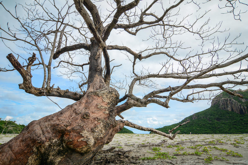 Τεράστιο δέντρο στο εθνικό πάρκο Con Dao στοκ εικόνες