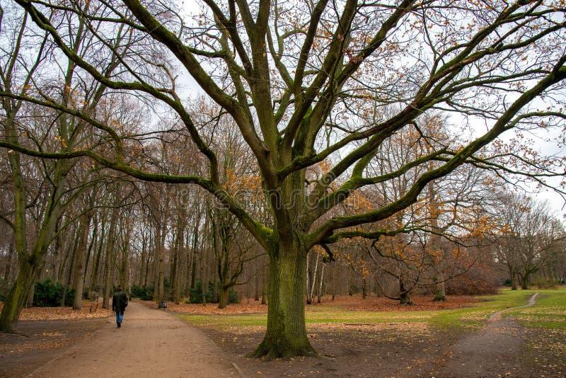 Τεράστιο αποβαλλόμενο δέντρο με το διακλαδισμένο κορμό που καλύπτεται με το πράσινο βρύο Ήρεμο τοπίο φθινοπώρου με το unrecogniza στοκ εικόνες με δικαίωμα ελεύθερης χρήσης