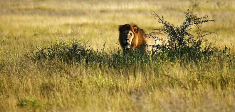 Τεράστιο αρσενικό λιοντάρι της Καλαχάρης στοκ εικόνες