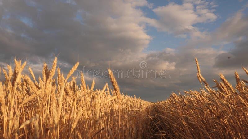 Τεράστιο κίτρινο πάτωμα σίτου στην ειδυλλιακή φύση στις χρυσές ακτίνες του ηλιοβασιλέματος Όμορφος θυελλώδης ουρανός με τα σύννεφ στοκ φωτογραφία