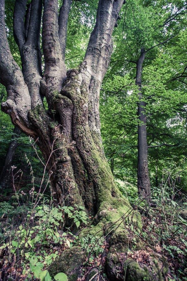 Τεράστιο παλαιό δέντρο οξιών στο τροπικό δάσος Vinatovaca επιφύλαξης φύσης στο S στοκ εικόνα με δικαίωμα ελεύθερης χρήσης