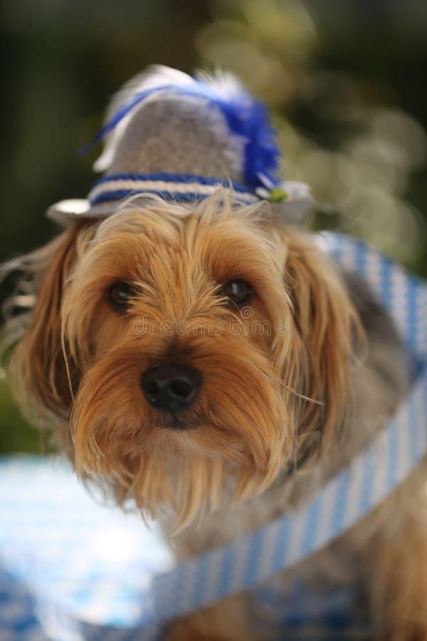 Τεριέ του Γιορκσάιρ με ένα βαυαρικό καπέλο στοκ φωτογραφία με δικαίωμα ελεύθερης χρήσης
