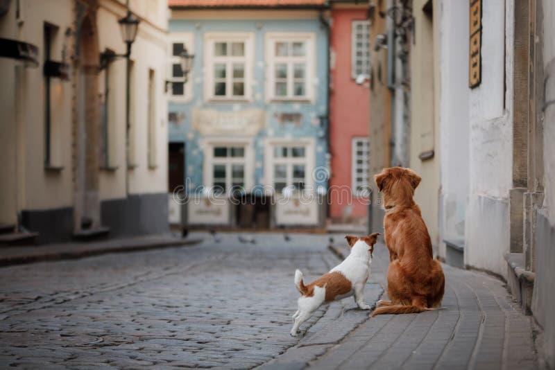Τεριέ του Jack Russell σκυλιών και Retriever διοδίων παπιών της Νέας Σκοτίας στοκ εικόνες με δικαίωμα ελεύθερης χρήσης