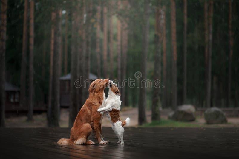 Τεριέ του Jack Russell σκυλιών και Retriever διοδίων παπιών της Νέας Σκοτίας στοκ φωτογραφία με δικαίωμα ελεύθερης χρήσης