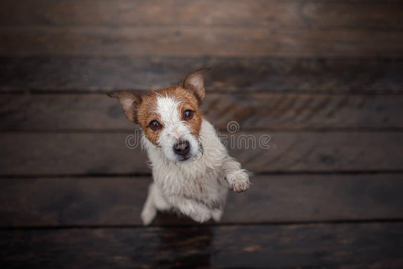 Τεριέ του Jack Russell σκυλιών σε ένα ξύλινο πάτωμα στοκ φωτογραφία