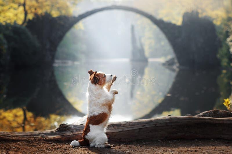 Τεριέ του Jack Russell σκυλιών στη γέφυρα πετρών στοκ φωτογραφία