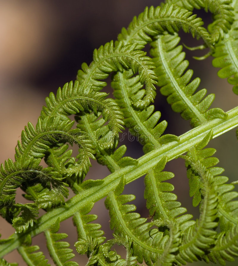 τετραγωνικά Struthiopteris στρουθο Στοκ Εικόνες