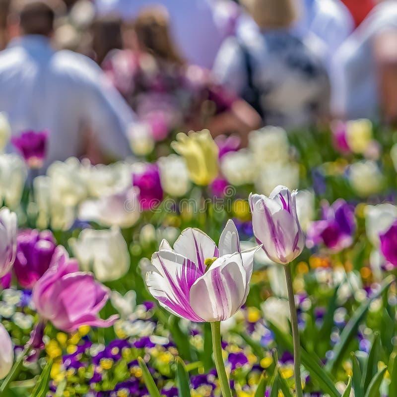 Τετραγωνικός στενός επάνω των τουλιπών και των μικρών λουλουδιών με τους ανθρώπους και να ενσωματώσει το υπόβαθρο στοκ εικόνες με δικαίωμα ελεύθερης χρήσης