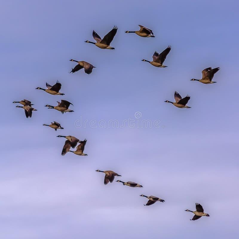 Τετραγωνικό κοπάδι των πουλιών που πετούν ενάντια στο μουντό μπλε ουρανό με τα σύννεφα στοκ φωτογραφίες