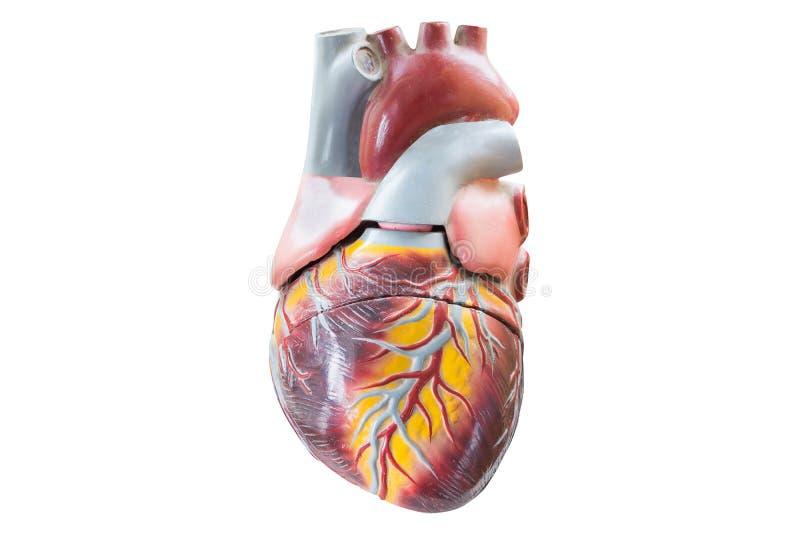 Τεχνητό ανθρώπινο πρότυπο καρδιών στοκ εικόνα με δικαίωμα ελεύθερης χρήσης