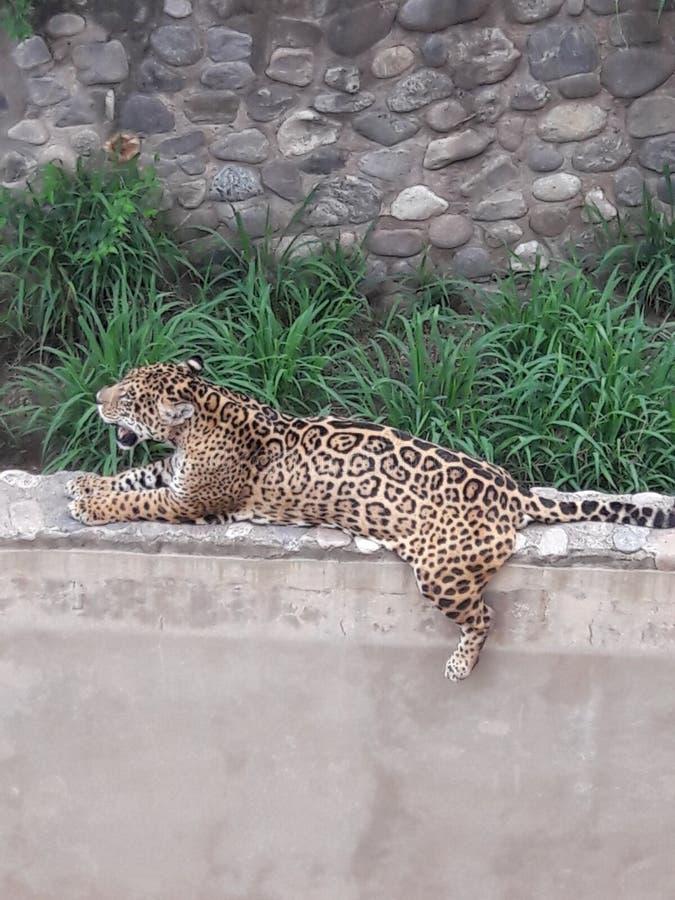Τζάγκουαρ στο ζωολογικό κήπο στην Κόρντομπα Αργεντινή Νότια Αμερική στοκ εικόνες με δικαίωμα ελεύθερης χρήσης