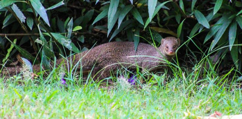 Τζαμαϊκανό Mongoose στοκ φωτογραφίες