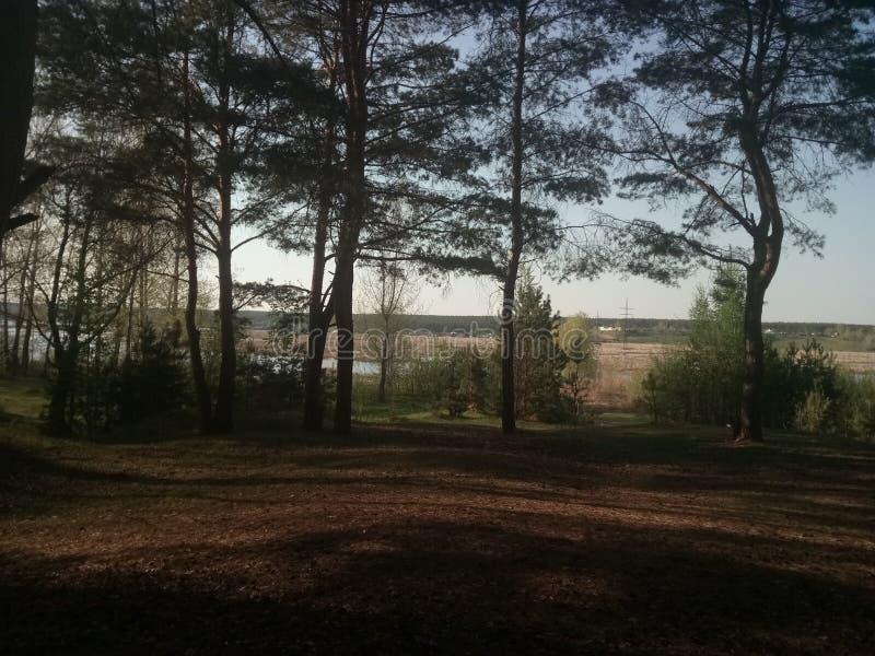 την άνοιξη δάσος πεύκων στοκ φωτογραφίες
