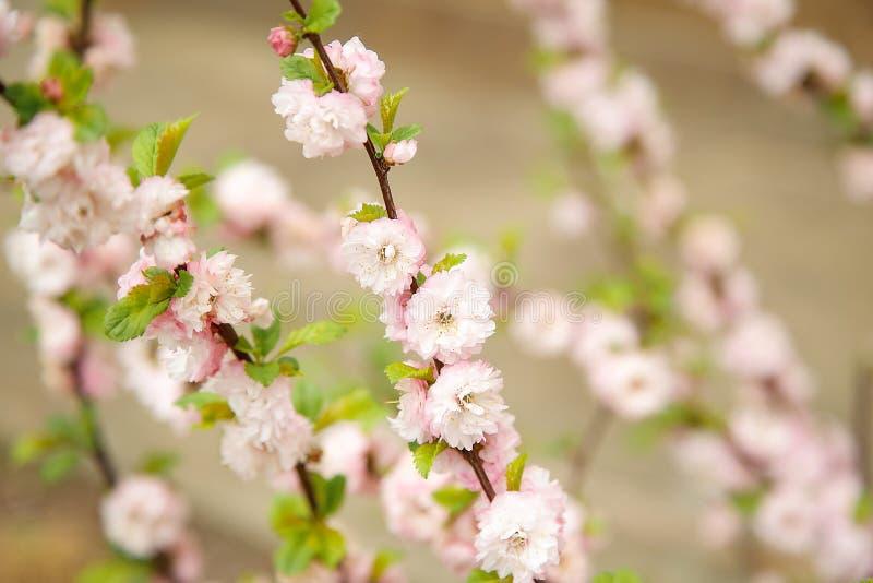 Την άνοιξη, στον κλάδο των αμυγδάλων άνθισε ρόδινα μικρά λουλούδια Σύσταση ή υπόβαθρο στοκ φωτογραφία με δικαίωμα ελεύθερης χρήσης