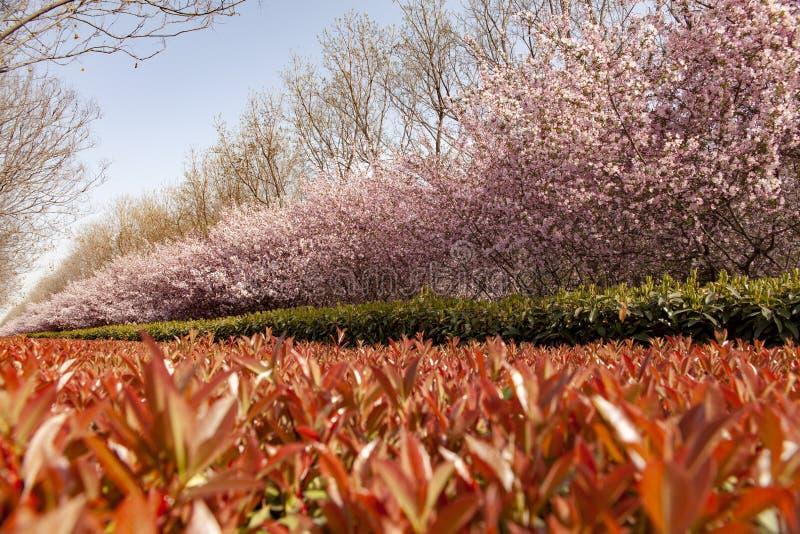 Την άνοιξη το πάρκο, η κόκκινη ερείκη, η Holly και begonia διαμορφώνουν ένα όμορφο τοπίο στοκ φωτογραφία