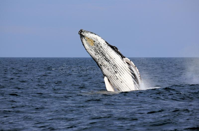 της Αλάσκας φάλαινα sw παραβιάσεων frederick humpback υγιής στοκ εικόνες με δικαίωμα ελεύθερης χρήσης