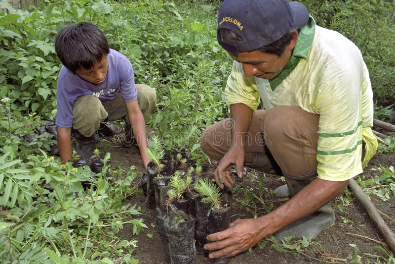 Της Γουατεμάλας πατέρας και γιος που φυτεύουν τα νέα δενδρύλλια στοκ φωτογραφία με δικαίωμα ελεύθερης χρήσης