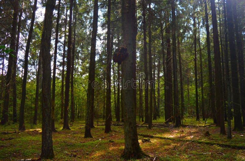 Της Λευκορωσίας δάσος στοκ φωτογραφίες με δικαίωμα ελεύθερης χρήσης