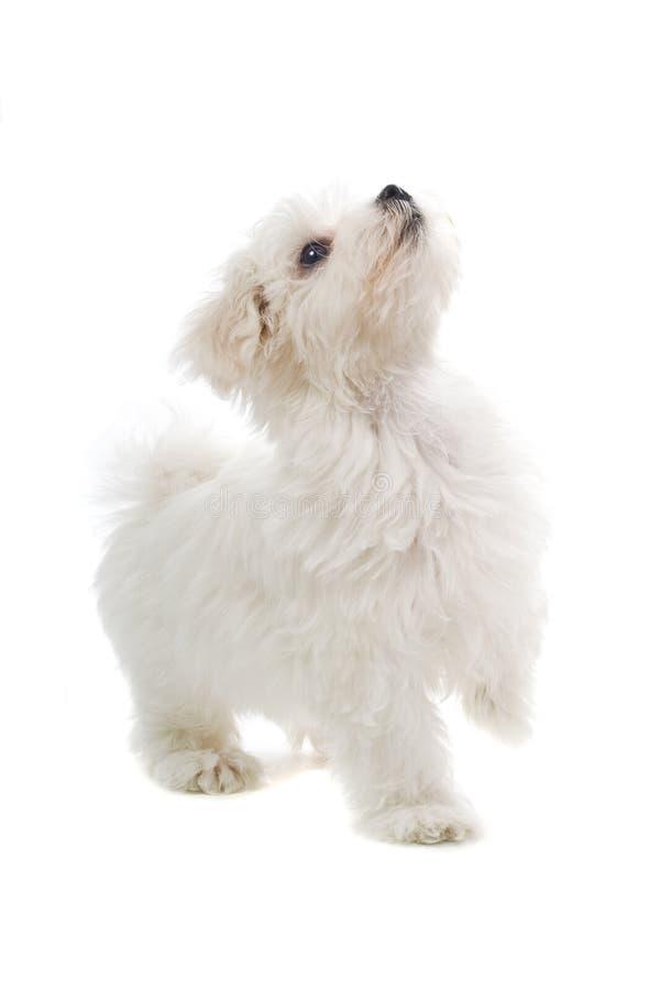 της Μάλτα κουτάβι σκυλιώ&nu στοκ φωτογραφία με δικαίωμα ελεύθερης χρήσης