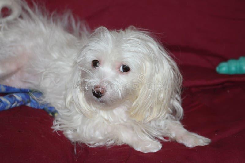 Της Μάλτα λευκό σκυλιών στοκ εικόνα με δικαίωμα ελεύθερης χρήσης