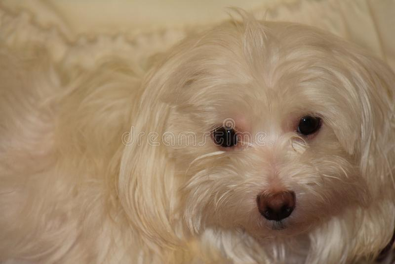 Της Μάλτα λευκό σκυλιών στοκ φωτογραφία με δικαίωμα ελεύθερης χρήσης