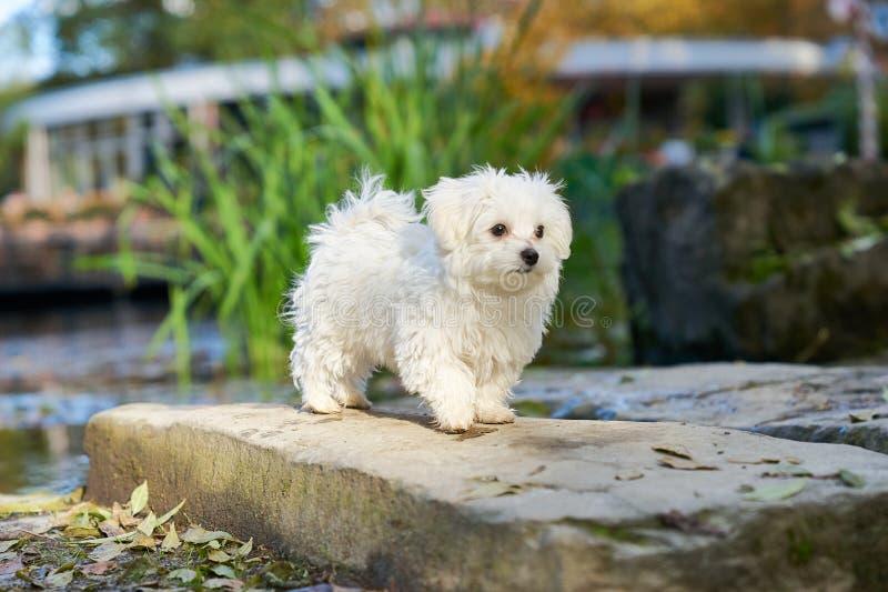Της Μάλτα σκυλί που στέκεται στον ήλιο στο πάρκο στοκ εικόνες