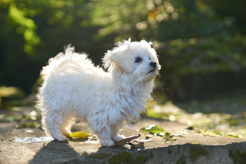 Της Μάλτα σκυλί που στέκεται στον ήλιο στο πάρκο στοκ εικόνα με δικαίωμα ελεύθερης χρήσης
