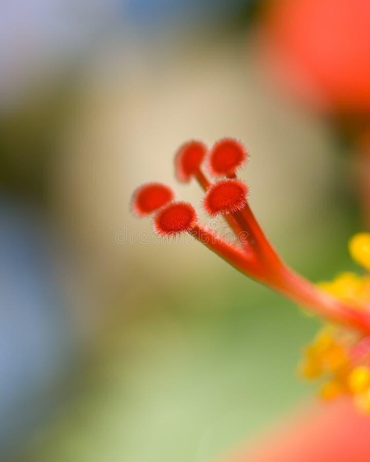 Download της Χαβάης Hibiscus λουλουδιώ&nu Στοκ Εικόνες - εικόνα από φωτογραφία, πράσινος: 13181996