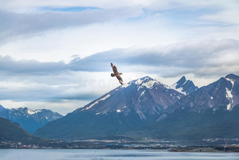 Της Χιλής πουλιά Skua που πετούν πέρα από τα βουνά στο κανάλι λαγωνικών - Ushuaia, Γη του Πυρός, Αργεντινή στοκ φωτογραφία