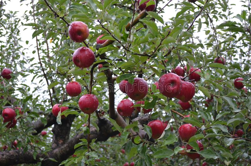 Της Apple καλή ποιότητα μεγέθους κήπων μεγάλη στοκ εικόνα