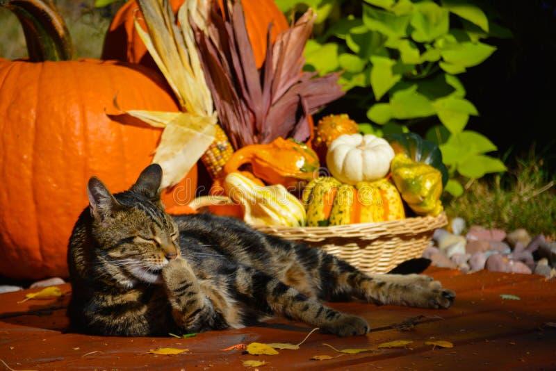 Τιγρέ γάτα και κολοκύθες στοκ εικόνες