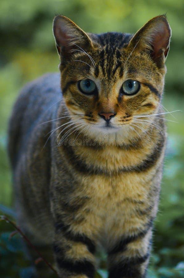Τιγρέ γάτα λι δράκων γατών στοκ φωτογραφίες