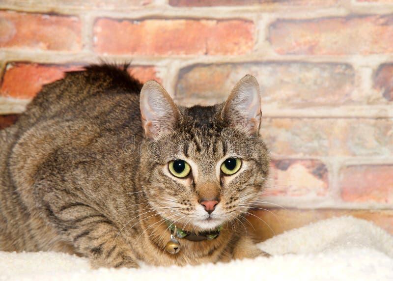 Τιγρέ γάτα με το περιλαίμιο και κουδούνι που βάζει στο κάλυμμα που εξετάζει το θεατή στοκ εικόνες με δικαίωμα ελεύθερης χρήσης