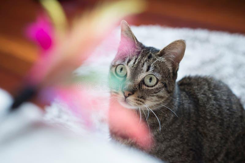 Τιγρέ γάτα που εξετάζει ένα παιχνίδι φτερών στοκ εικόνα