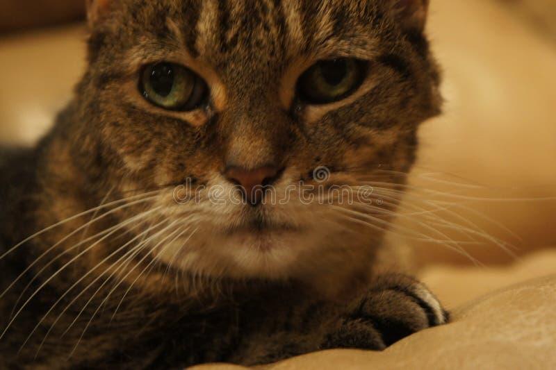 Τιγρέ γάτα που εξετάζει τη φωτογραφική μηχανή στοκ εικόνες