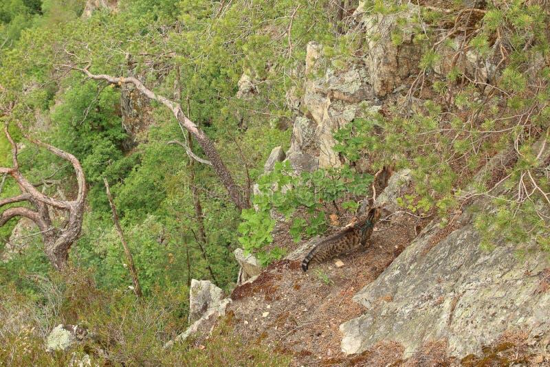 Τιγρέ γάτα στις άγρια περιοχές στοκ εικόνες