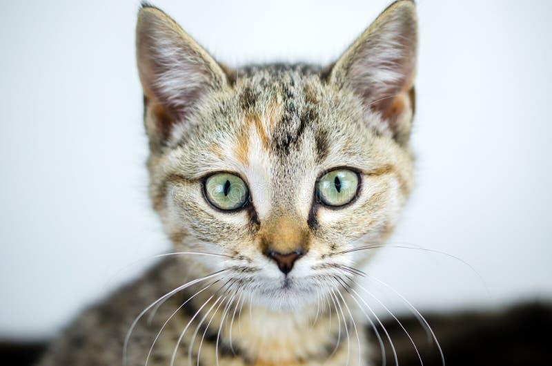 Τιγρέ πορτρέτο υιοθέτησης γατακιών βαμβακερού υφάσματος στοκ φωτογραφία