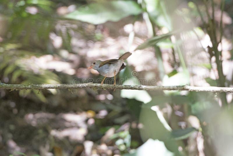 Τιμολογημένη πορτοκάλι nightingale τσίχλα στο δάσος στοκ φωτογραφίες