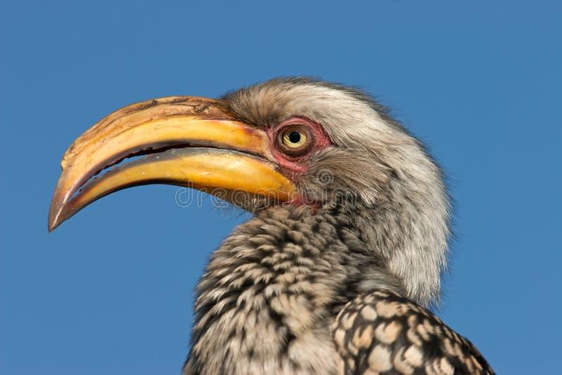 τιμολογημένος hornbill κίτρινο&sig στοκ φωτογραφίες