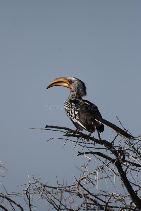τιμολογημένος hornbill νότιος κίτρινος στοκ εικόνα με δικαίωμα ελεύθερης χρήσης