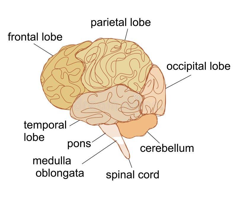 Τμήματα εγκεφάλου ελεύθερη απεικόνιση δικαιώματος
