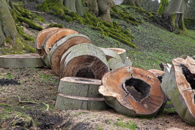 Τμήματα ενός δέντρου πεύκων στοκ φωτογραφίες