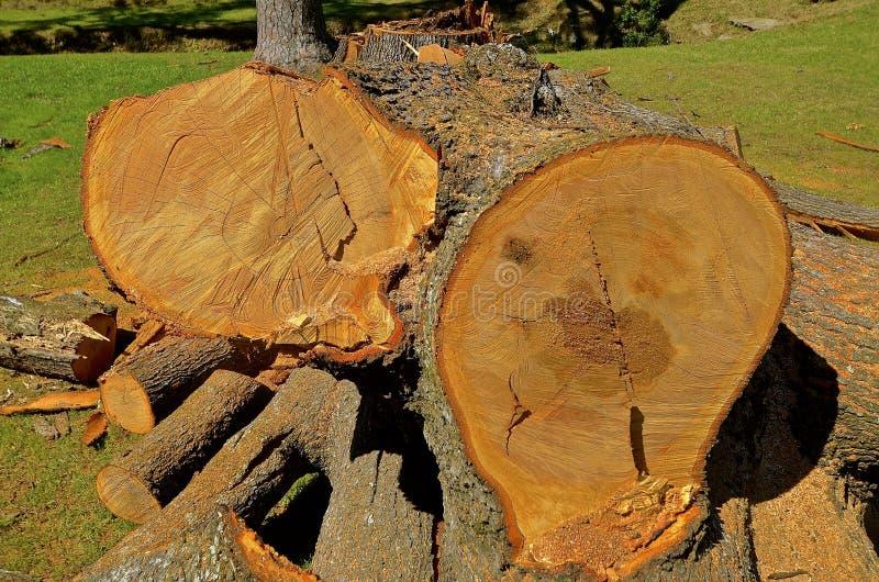 Τμήματα περικοπών ενός τεράστιου δέντρου πεύκων στοκ εικόνα με δικαίωμα ελεύθερης χρήσης