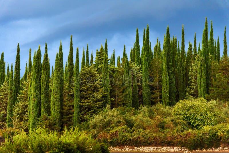 Τοίχος δέντρων κυπαρισσιών με το μπλε ουρανό στο πρωί Τοσκάνη Ιταλία στοκ φωτογραφίες με δικαίωμα ελεύθερης χρήσης