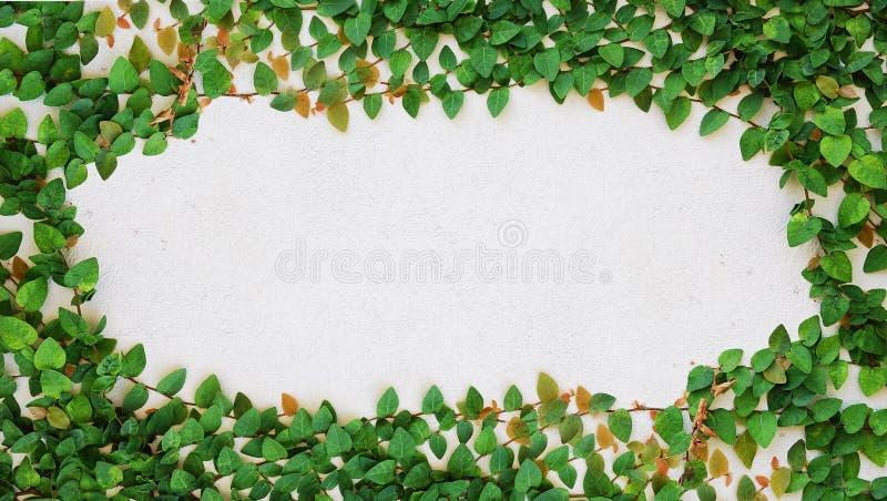 τοίχος πράσινων φυτών αναρριχητικών φυτών στοκ φωτογραφίες με δικαίωμα ελεύθερης χρήσης