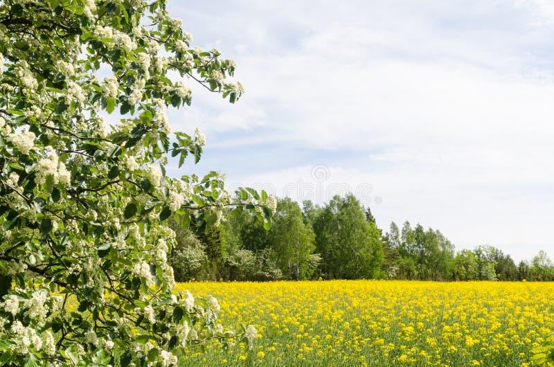 Τομέας ανθών rapefield με τους πράσινους και άσπρους κλάδους στοκ φωτογραφία με δικαίωμα ελεύθερης χρήσης